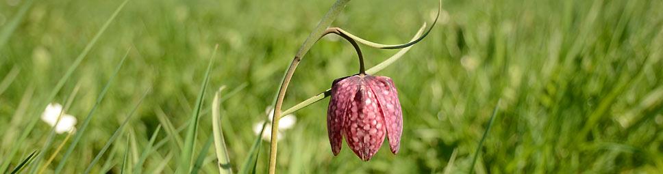 Eine blühende Schachblume im Sinntal