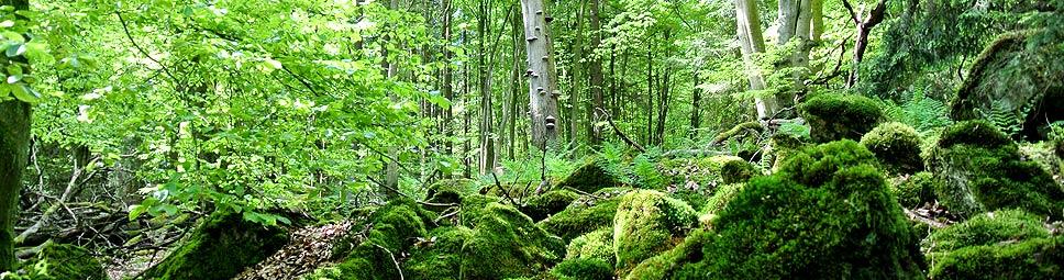 Bäume und bemooste Felsbrocken im Spessart
