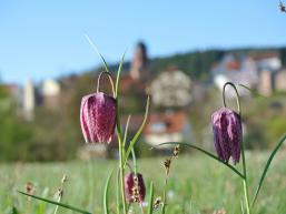 Schachblume mit Stadt Rieneck im Hintergrund
