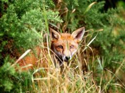Versteckter Fuchs