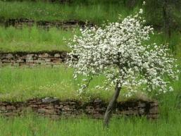 Obstblüte in alten Weinbergen