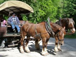Ein kräftiges Pferdegespann