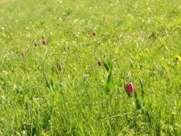 Schachblumenwiese im Sinntal