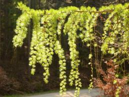 Zartes Grün im Spessartwald