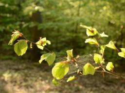 Zartes Grün an den Buchen