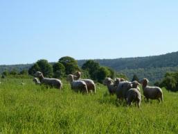 Schafe im Sinngrund
