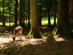 Reh im Spessartwald