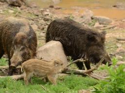Wildschweine in freier Natur