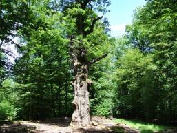 Naturdenkmal im Gresselwald bei Burgsinn im Spessart