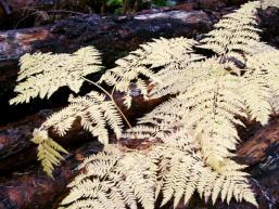 Versteckt im Wald: Herbstfarn