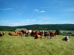 Kühe, Aussicht, Natur bei Burgsinn