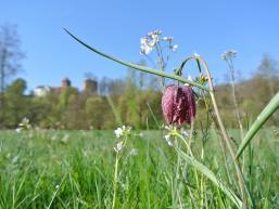 Schachblume und Burg Rieneck