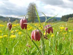 Schachbrettblume im Naturpark Spessart bei Obersinn