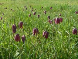 Dicht auf dicht stehen die Schachblumen im Frühjahr im Sinngrund