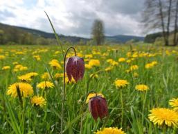 Farbenpracht auf den Feuchtwiesen im Sinntal