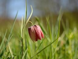 Schachbrettblume im naturnahen Sinngrund