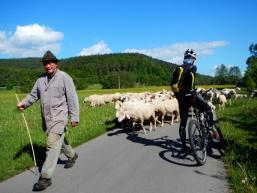 Schafe im Gegenverkehr auf dem Sinntalradweg