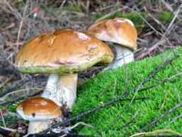 Der Spessart ist ein Paradies für Pilzsucher