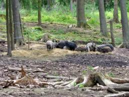 Wildschweine gibt es viele im Spessart