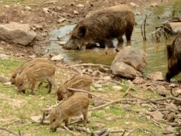 Wildschweingeheege Tierpark Klaushof